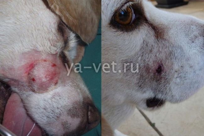 удаление опухоли у собаки