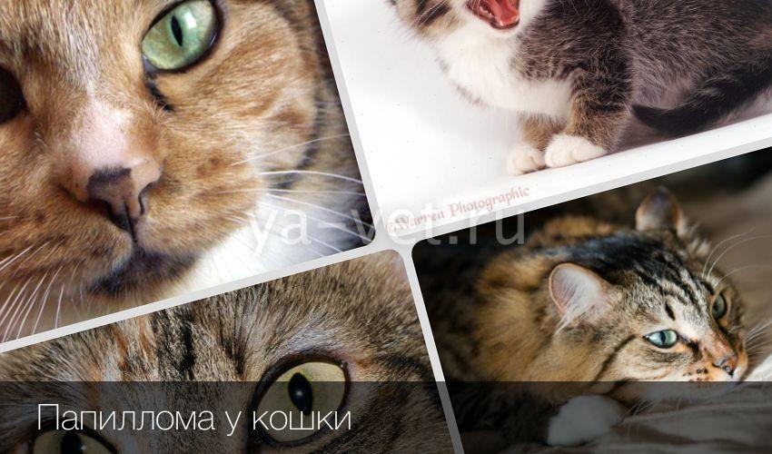 Лечение и профилактика папилломы у котов и кошек. Папилломы у кошек: причины, диагностика и лечение заболевания