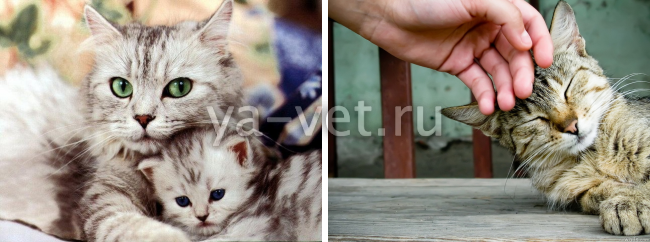 Как прервать беременность кошки