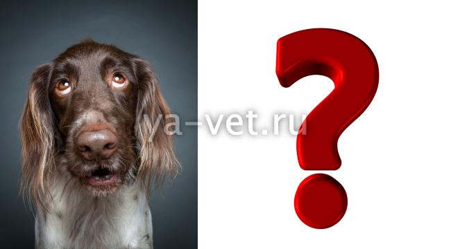 венерическая саркома у собак