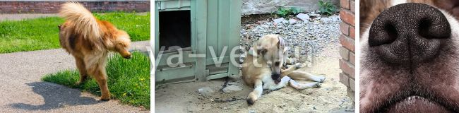 венерическая саркома у собаки