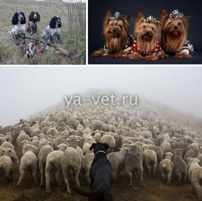 Ветеринар для собак