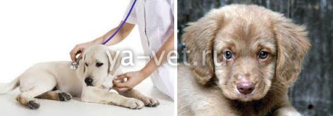 вирусный гепатит у собак симптомы