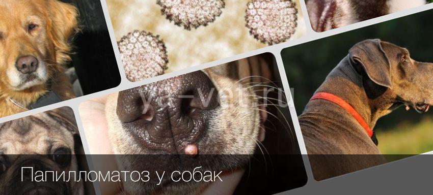 Вирусный папилломатоз у собак лечение