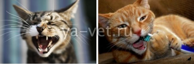 воспаление десен у кошки лечение