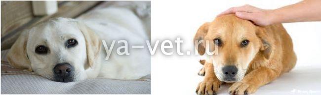 Воспаление легких у собак симптомы
