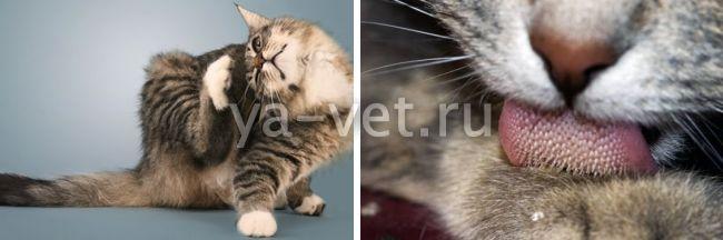 выпадение шерсти у кошек клоками