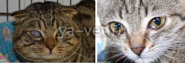 заболевание глаз у кошек лечение