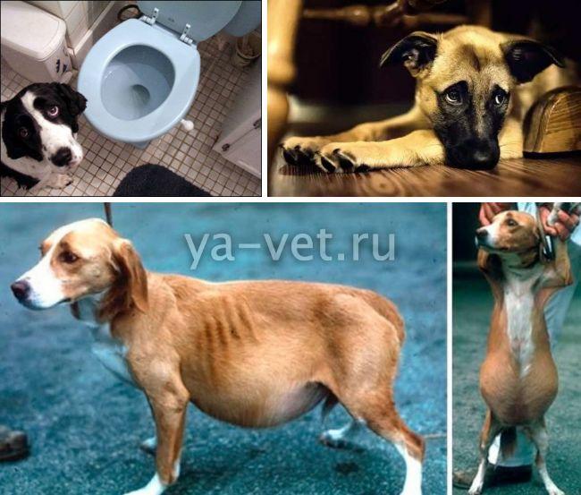 заболевание печени у собак симптомы