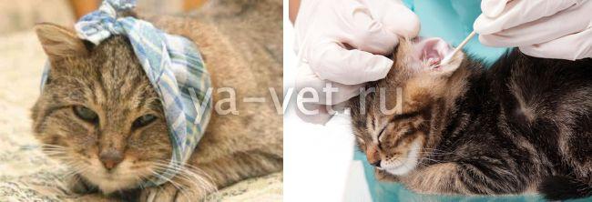 заболевания ушей у кошек