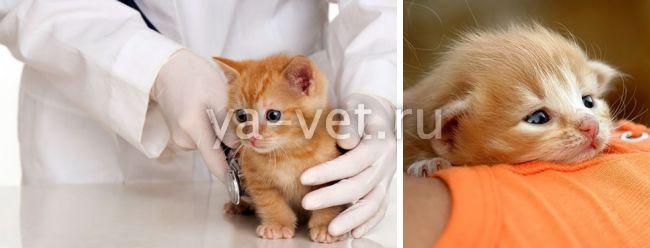рвота у котенка
