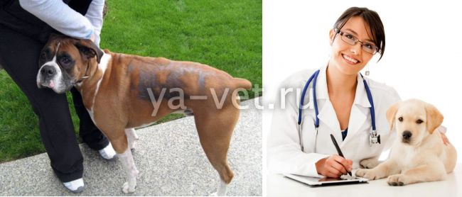алопеция у собак
