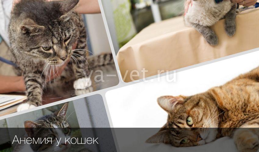 Анемия у кошек лечение кормление. Анемия у кошек: виды, диагностика, терапия. Виды анемии у кошки