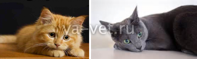 анемия у кота