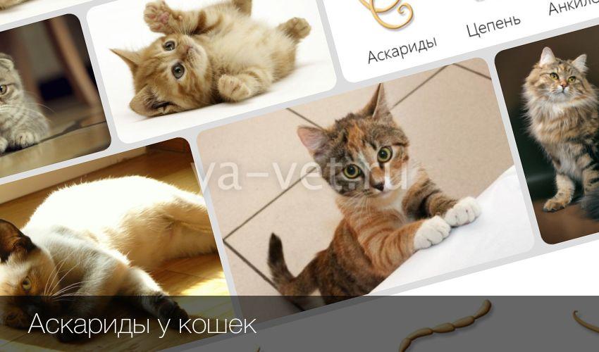 Аскариды у котов
