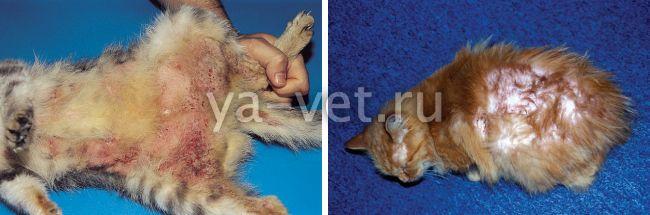 атопический дерматит у кошек симптомы