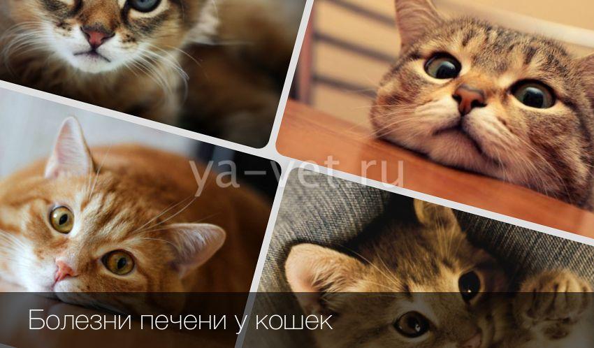 Почему у кота увеличена печень У кота увеличена печень причина заболевания