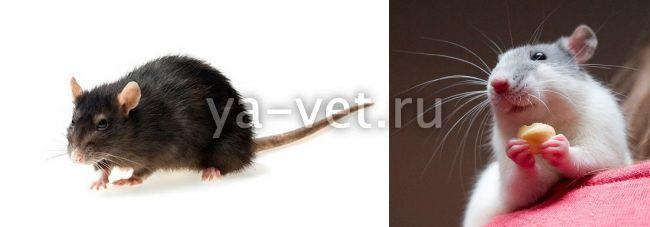 болезни декоративных крыс симптомы