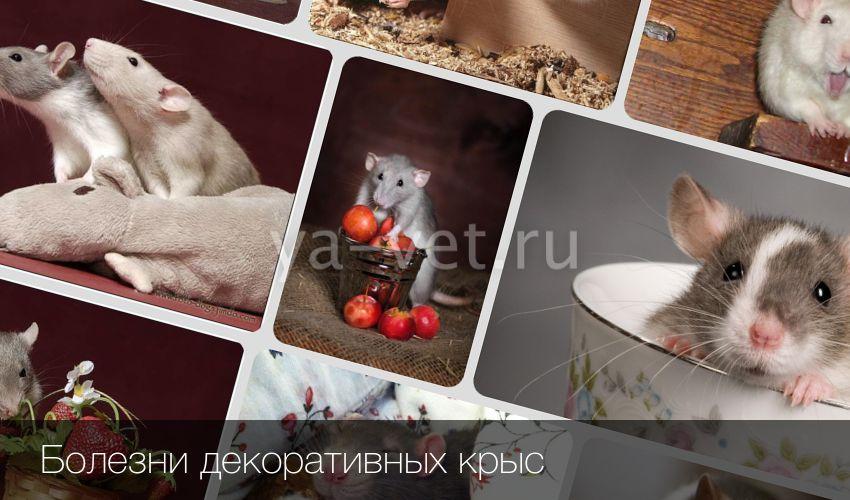 Болезни домашних крыс: симптомы и лечение, профилактика, что важно делать