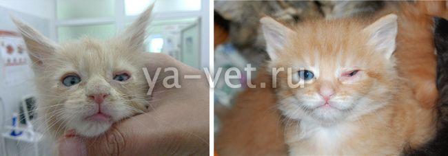 болезни котят и их симптомы