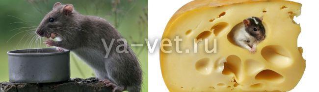 домашняя крыса болезни