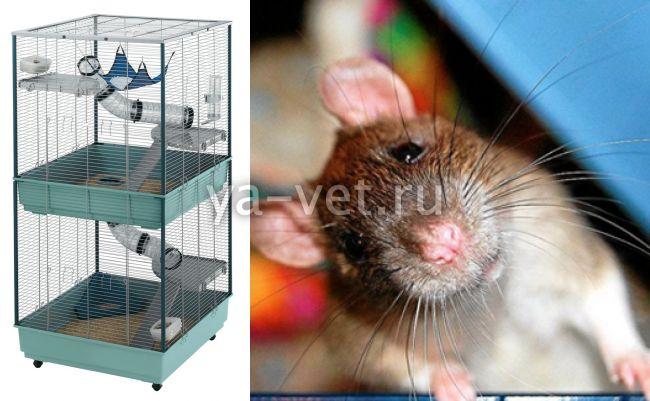 болезни крыс декоративных