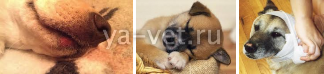 как лечить у собак герпес