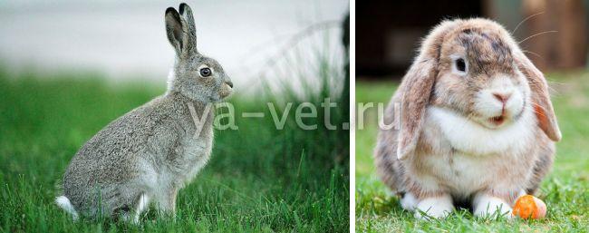 бывают ли у кроликов глисты