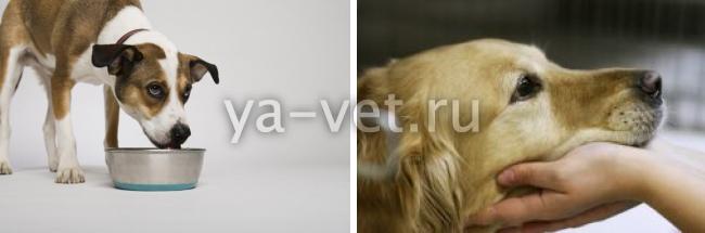 гастроэнтерит у собак симптомы и лечение