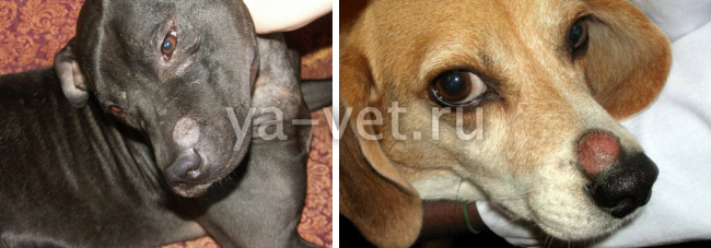 герпес собак симптомы
