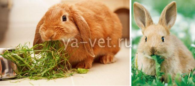 глисты у кроликов симптомы