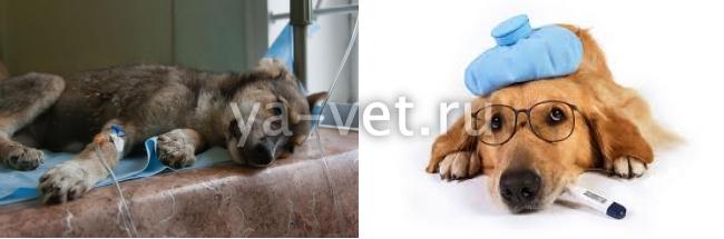 холецистит у собак симптомы и лечение
