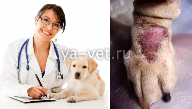 как лечить экзему у собаки