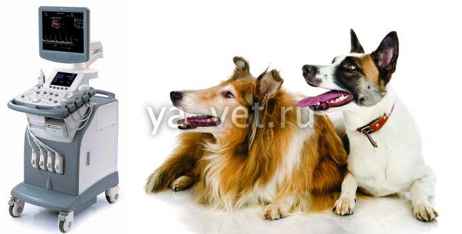 как подготовить собаку к узи брюшной полости