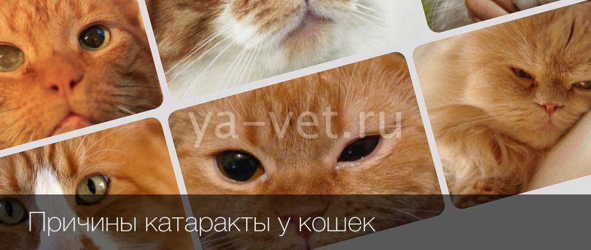 Катаракта у кошек что надо знать владельцу