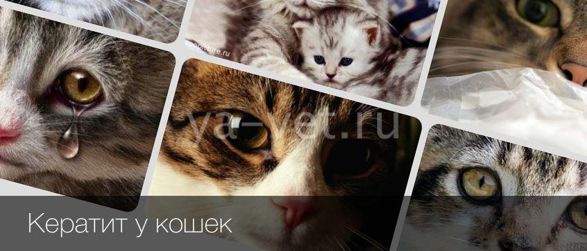 Кератит у кошек - симптомы, лечение, препараты, причины появления