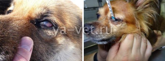 кератит глаза у собак