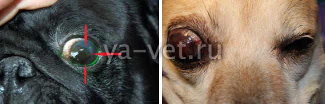 кератит у собак