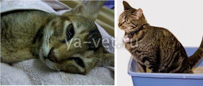 колит у кота симптомы