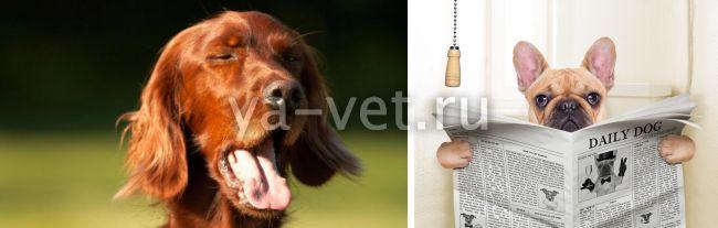 коронавирус собак лечение