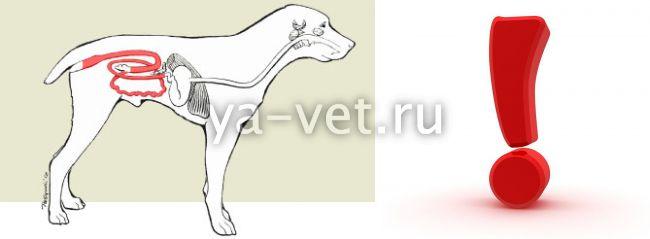 коронавирус у собак симптомы и лечение