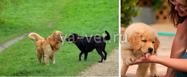 коронавирус у собак симптомы