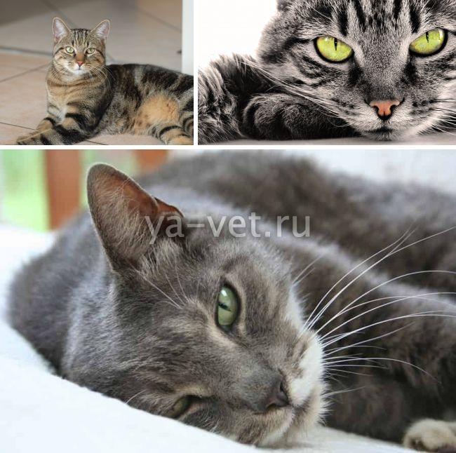 лечение кератита у кошек