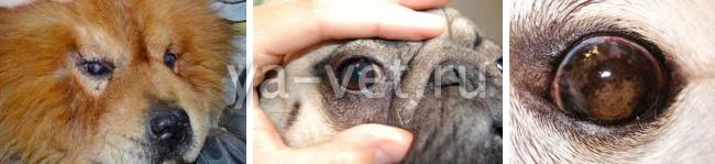 лечение кератита у собак