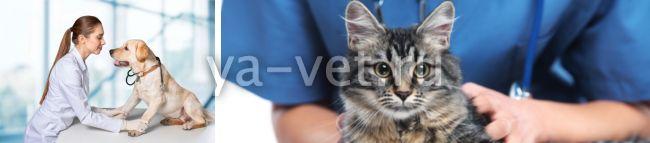 лейкопения у кошек - правила ухода за питомцем