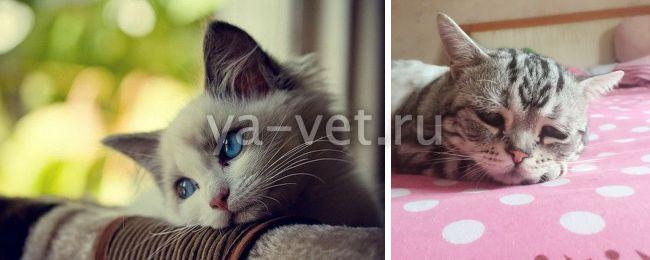 лейкопения у кошек симптомы и лечение
