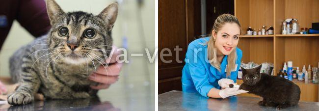 лейкопения у кошек симптомы