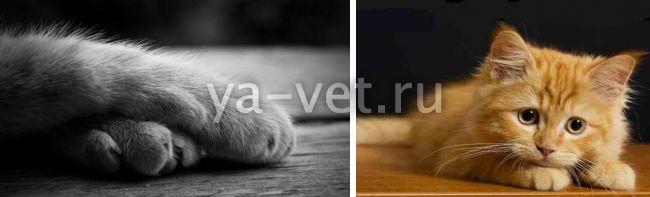 мягкие лапки для кошек операция цена
