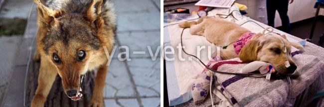 как глистогонить щенка перед прививкой
