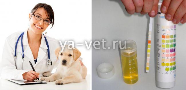 общий анализ мочи у собак